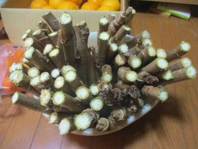 200202タラの芽のふかし栽培