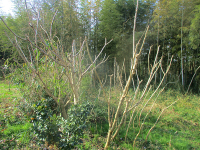 200202タラの木1