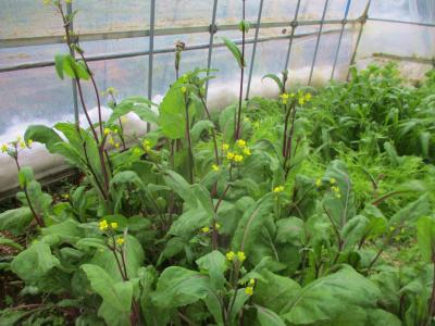 200208紅菜苔