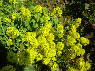 200215チーマティラバの花