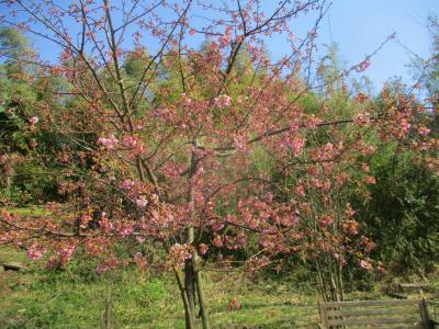 200224河津ザクラが咲き出した