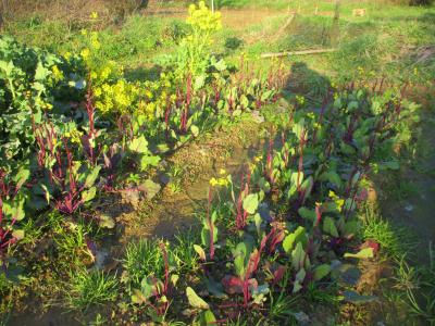 200223紅菜苔