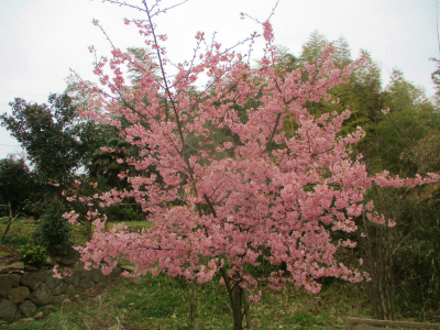 200307河津桜が満開