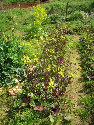 200307紅菜苔は菜の花に