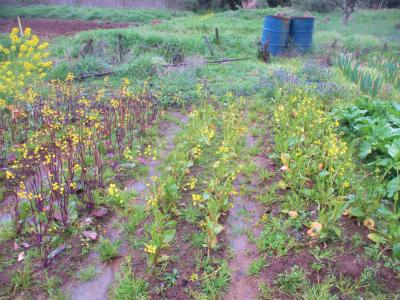 200314紅菜苔とオータムポエムの花