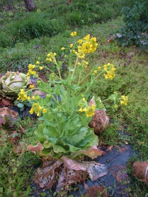 200314白菜の花