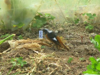 200328ハウスに迷い込んだ鳥