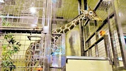 上野動物園 キリンさん