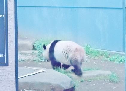 上野動物園 シャンシャンの後ろ姿