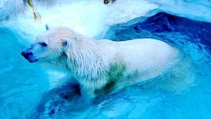 白クマさん 上野動物園