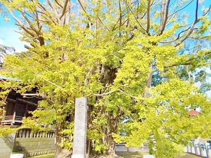 葛飾八幡宮 千本銀杏 2019