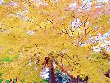 オレンジの大きな紅葉