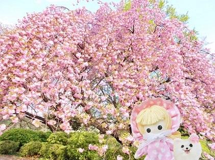 桜を見る会で おなじみ新宿御苑