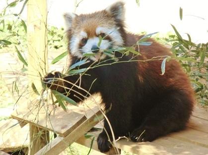 可愛いレッサーパンダと笹