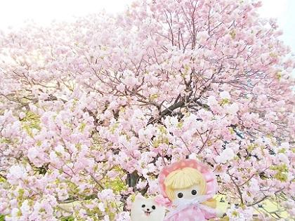 新宿御苑の八重桜 2019です