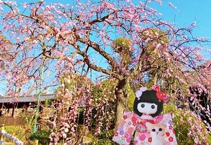 ピンクの枝垂れ梅です 2020