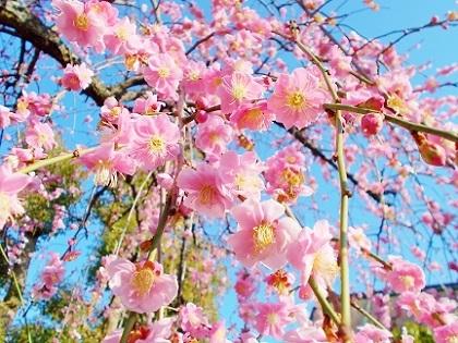 ピンクの枝垂れ梅2020c
