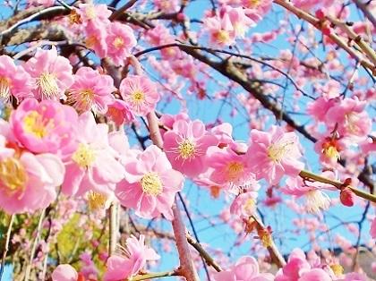 ピンクの枝垂れ梅2020b