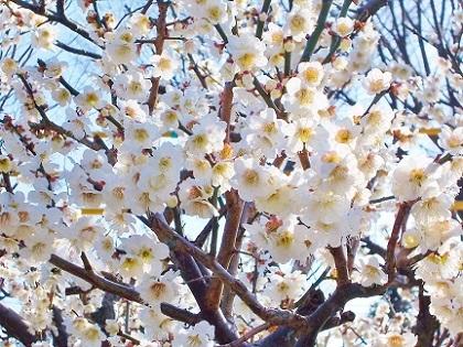 花つきの良い白梅発見