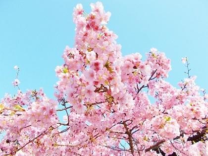 河津桜2020b