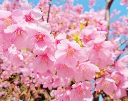 美しい寒緋桜ですb