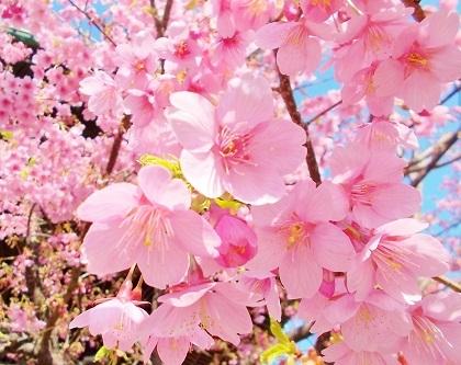鮮やかな寒緋桜です a