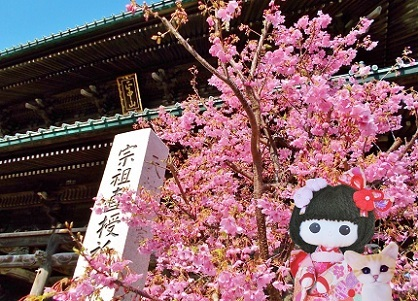 寒緋桜も咲いていました