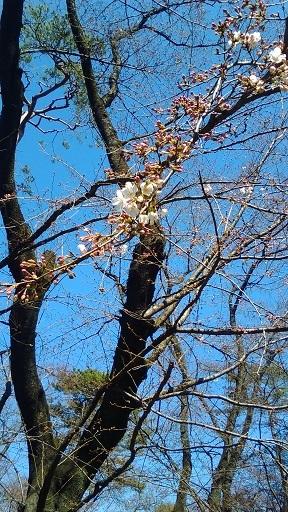 大宮公園の桜20200318