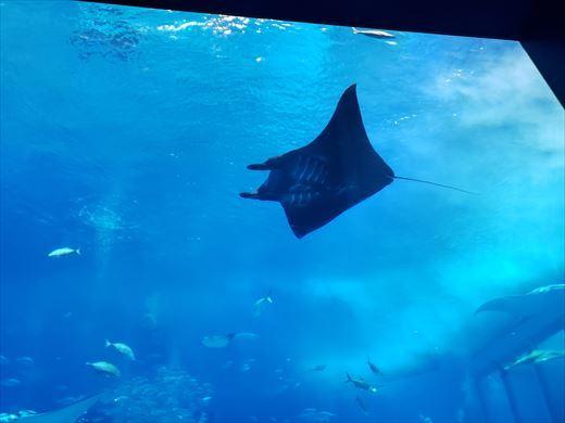 美ら海水族館 (17)
