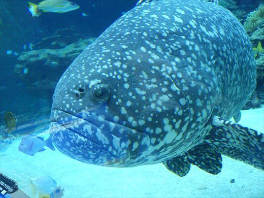 美ら海水族館 (46)