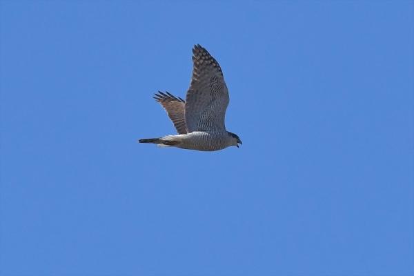 オオタカ成鳥20200228