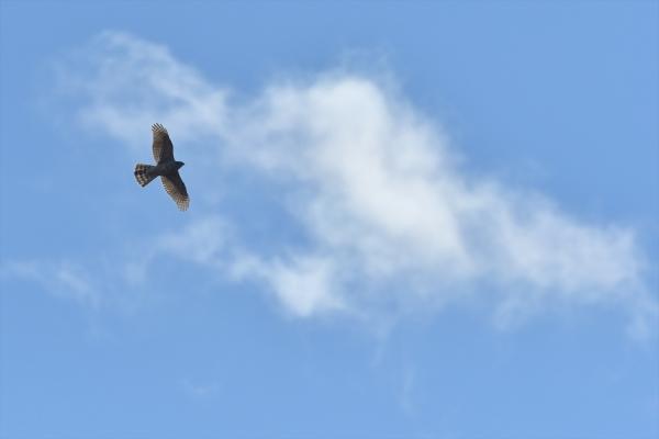 わた雲とオオタカ20200121-7
