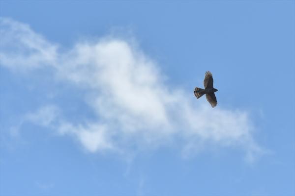 わた雲とオオタカ20200121-10