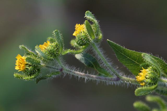 メナモミ(雌生揉、雌菜揉)