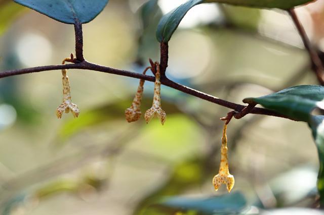 ツルグミ(蔓茱萸)