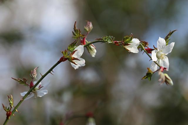 モミジイチゴ(紅葉苺)