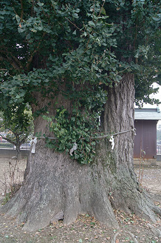 190928加須 香取神社銀杏②
