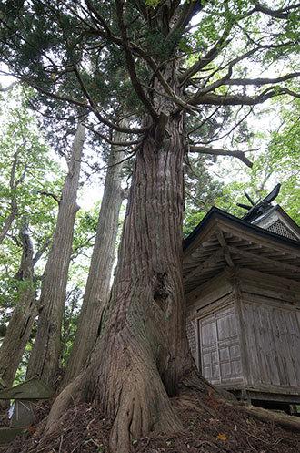 191006下馬渡熊野神社杉②