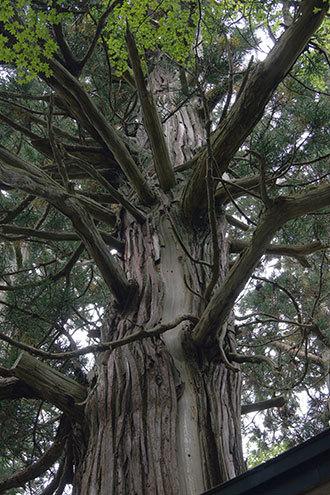 191006下馬渡熊野神社杉④