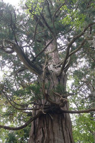 191006下馬渡熊野神社杉⑩