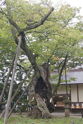 191006蚕養国神社峰張桜①