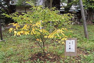 191006蚕養国神社峰張桜④