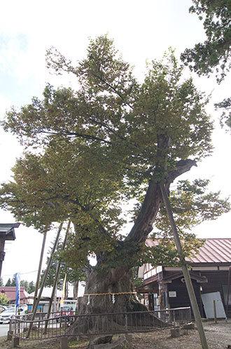 191006新宮熊野神社欅①