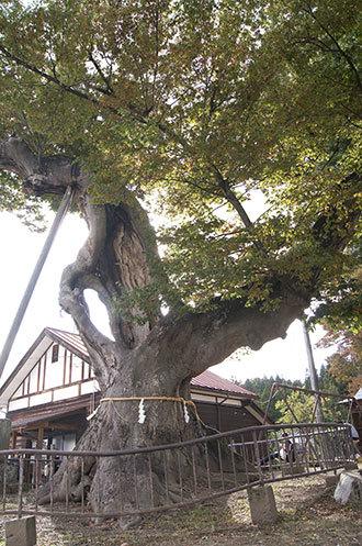 191006新宮熊野神社欅②
