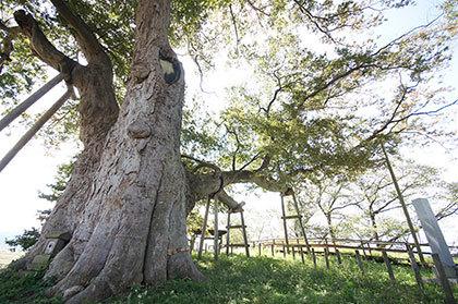 191007高勢の大木②