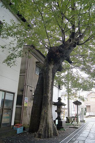 191019所沢神明社の欅④