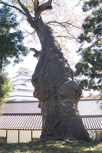 191028鶴ヶ城公園ケヤキ②