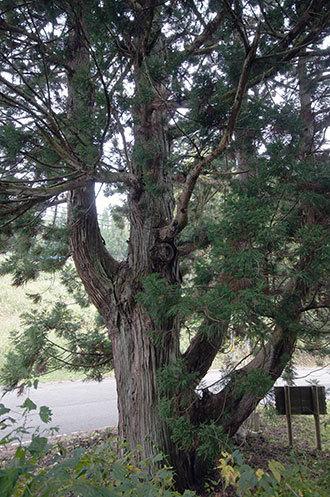191028大久保の念仏杉④