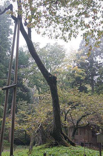 磐椅神社の大鹿桜①