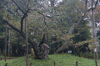 磐椅神社の大鹿桜②
